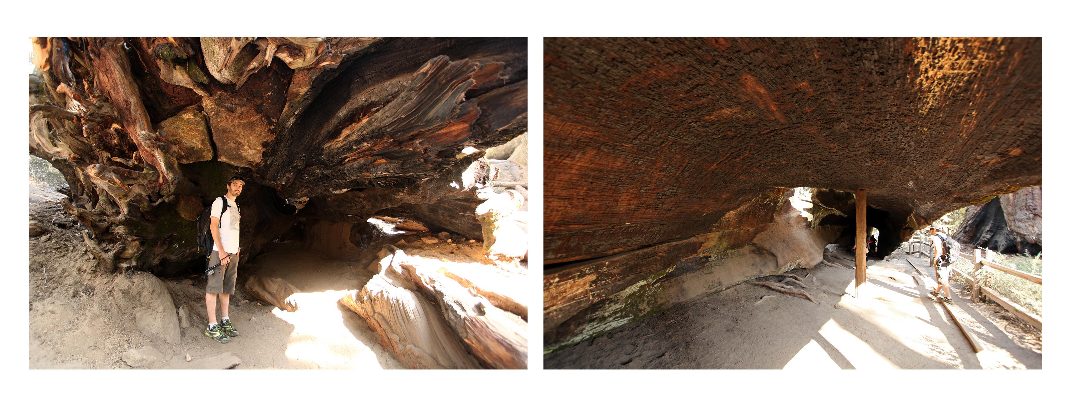 Sequoias2