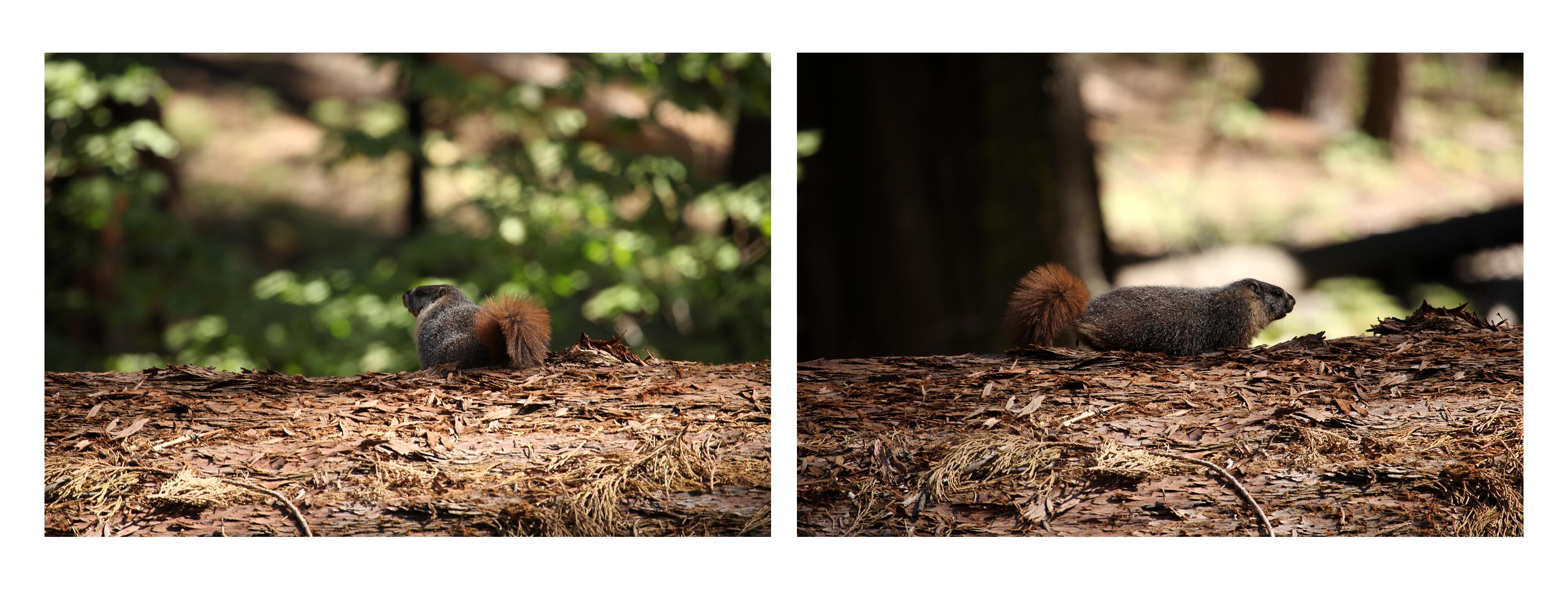 Sequoias5