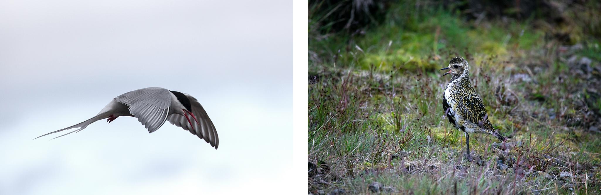 oiseaux-islande