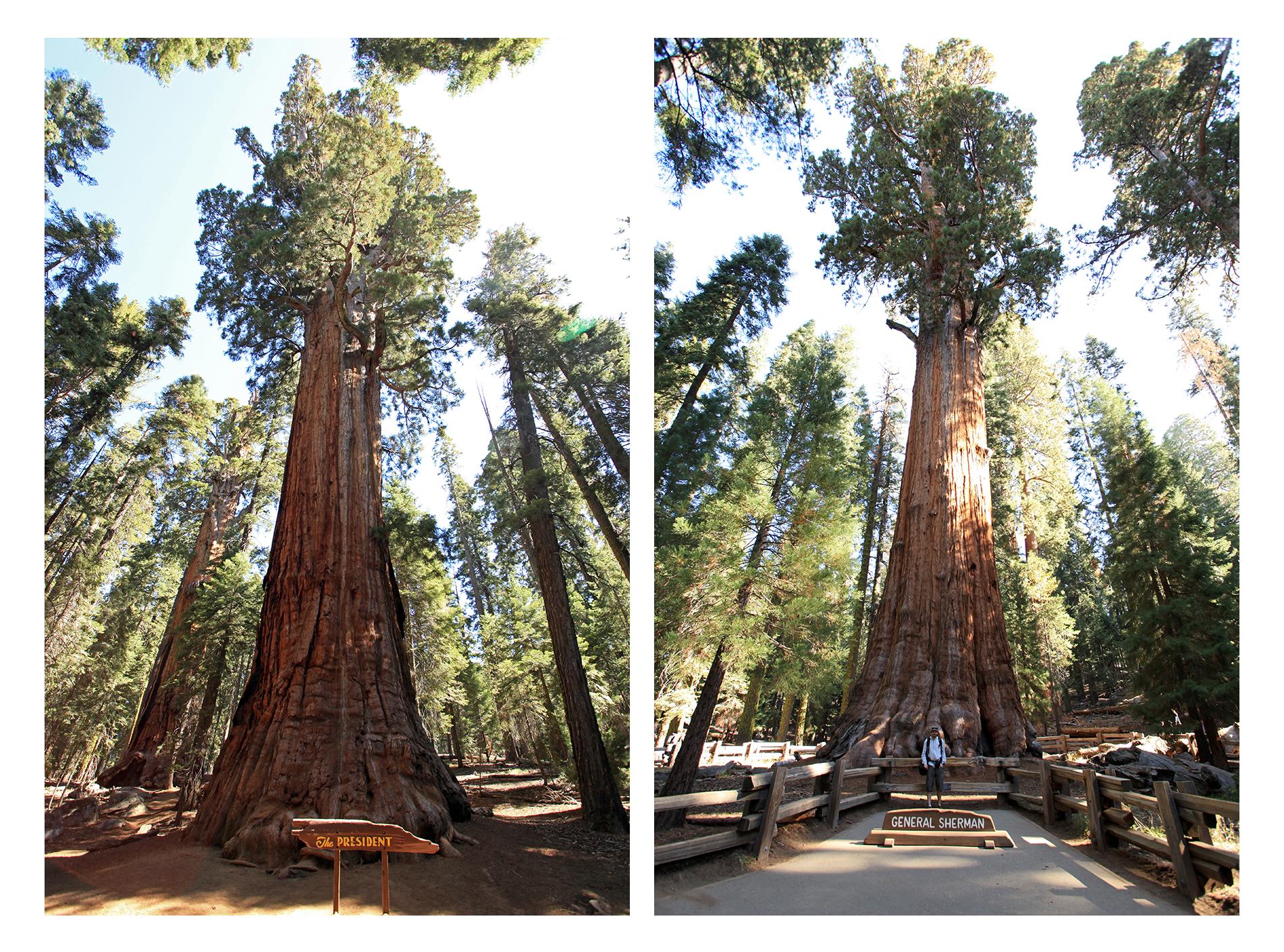 Sequoia-4