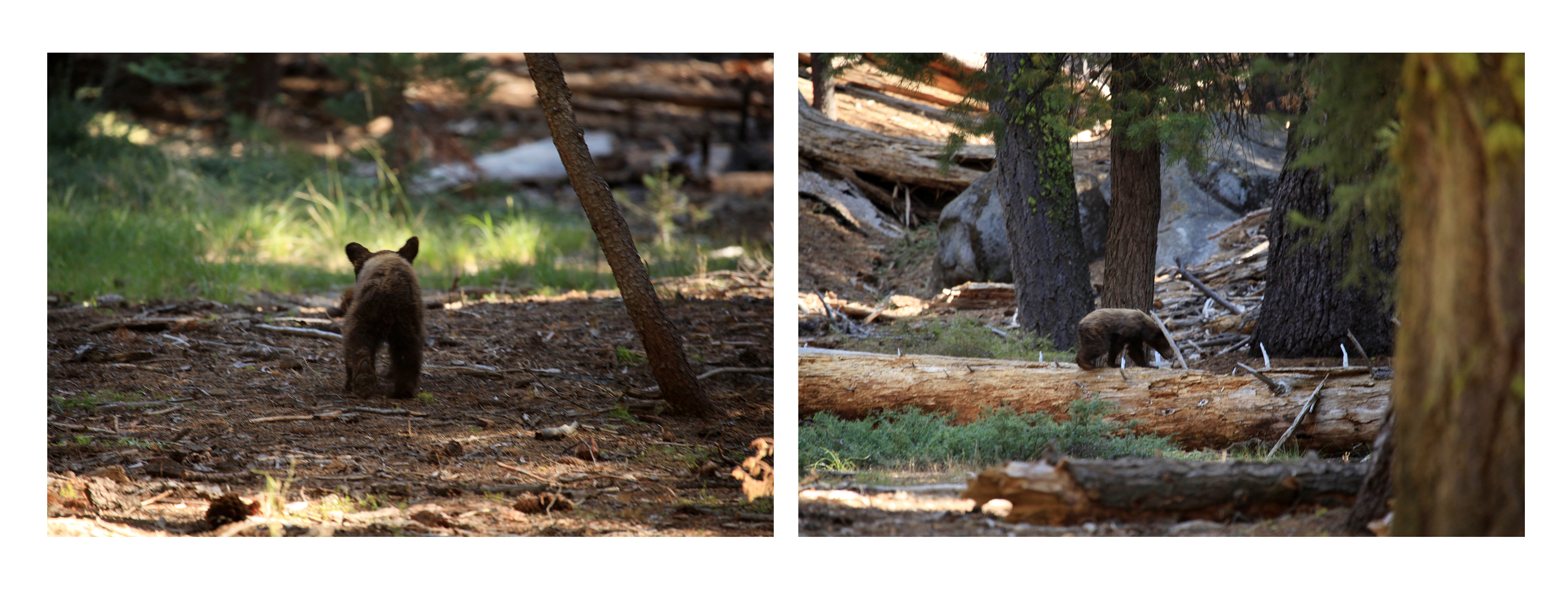 Sequoias4
