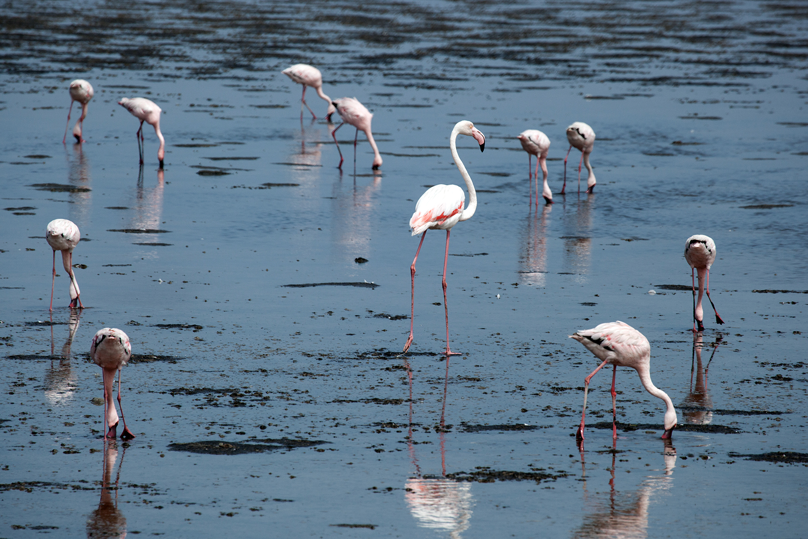 flamands-roses-namibie