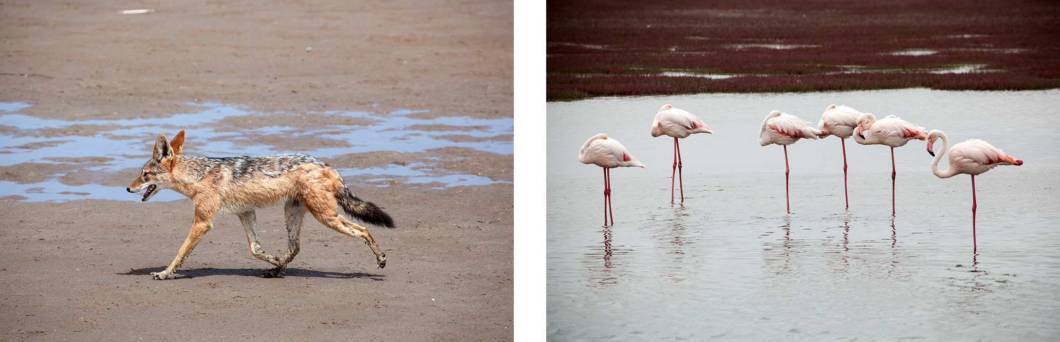 flamands-roses-chacal-namibie