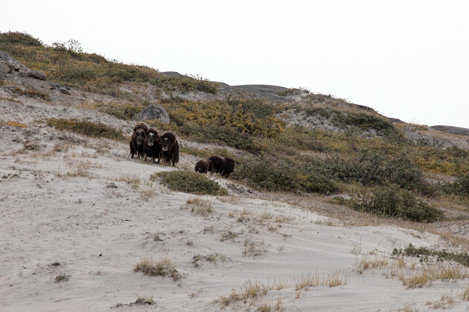 voir des boeuf musques ouest Groenland