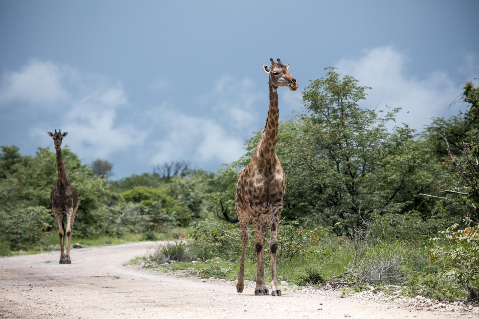 Où voir les girafes en Afrique ?