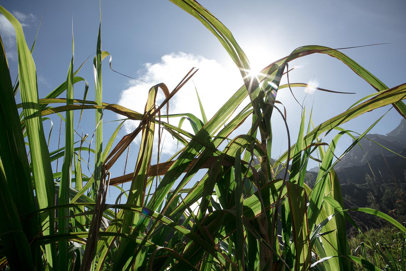 Canne à sucre au Cap Vert
