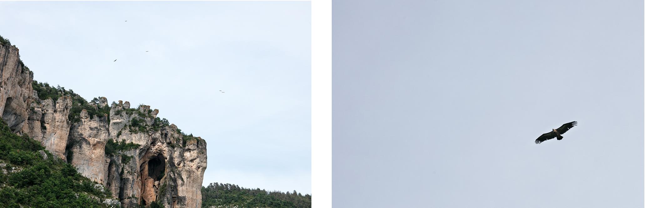 Observer les vautours en France