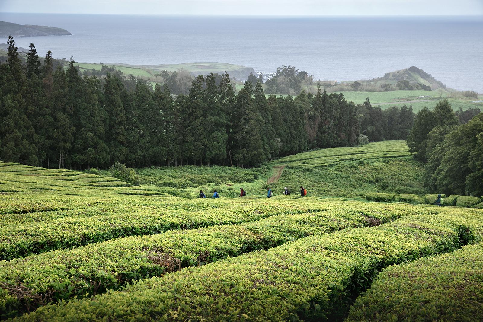 Plans de thé Açores Sao Miguel