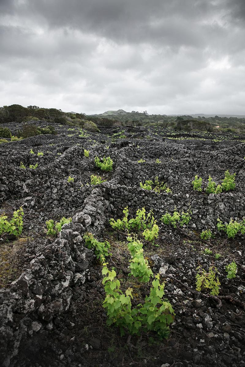 Voyage aux Açores, île de Pico