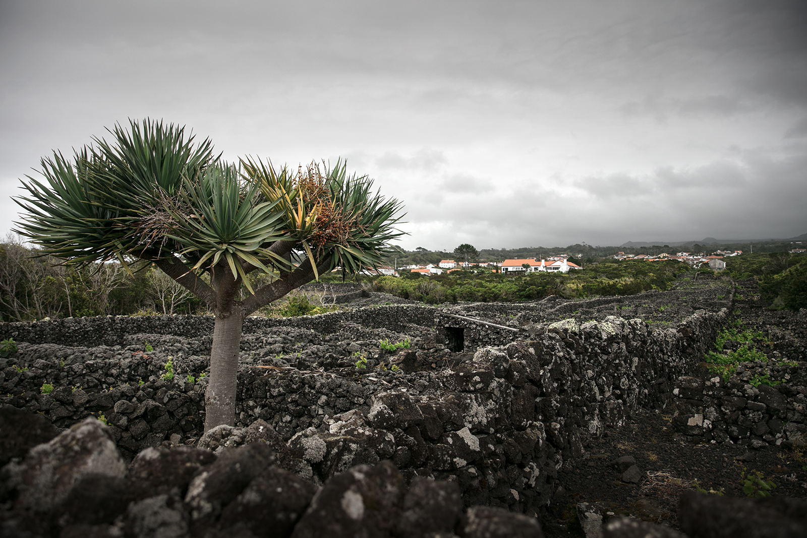 Dragonnier Pico Açores
