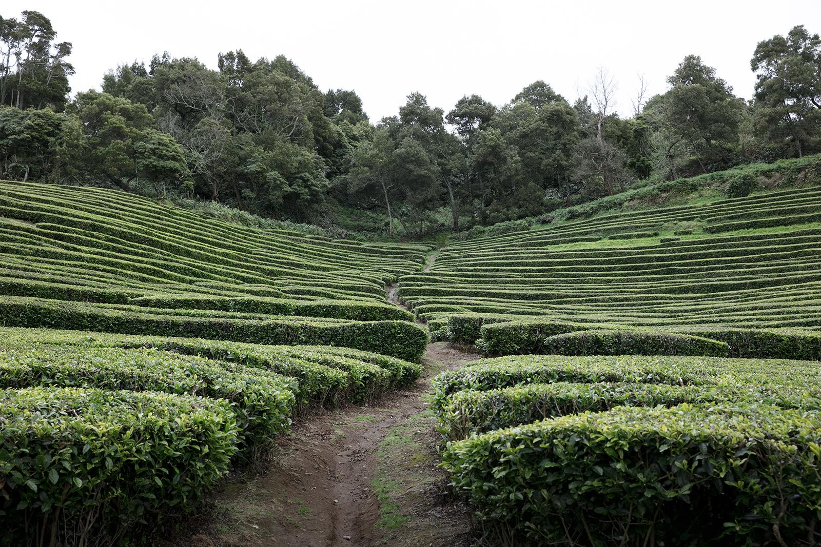 La seule plantation de thé en Europe