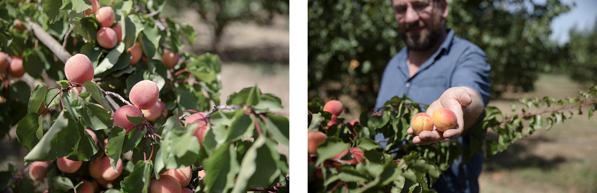 ceuillète abricots Argelès-sur-Mer
